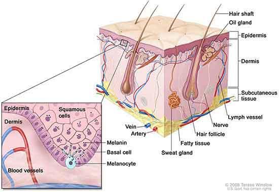 melanoma_anatomy